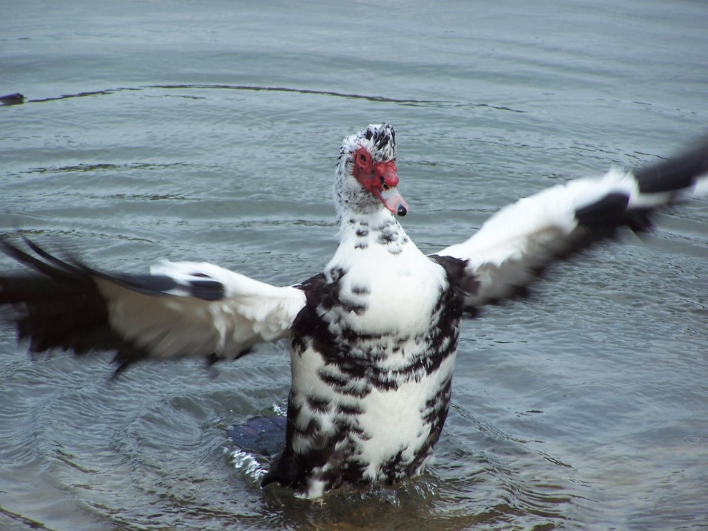 Killer duck jumps out of the water.