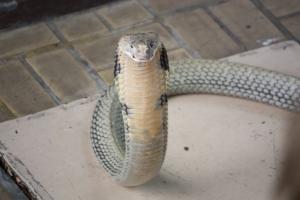 Taken at the Red Cross Snake Farm, Bangkok