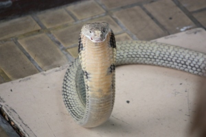 Taken at the Red Cross Snake Farm, Bangkok