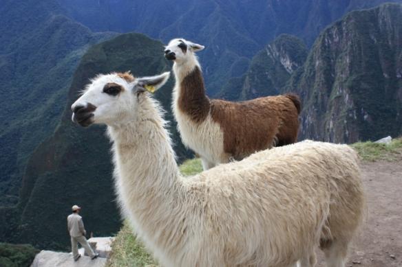 One lama, two lama, brown lama, white lama