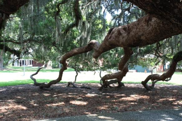 The underside of a Live Oak.
