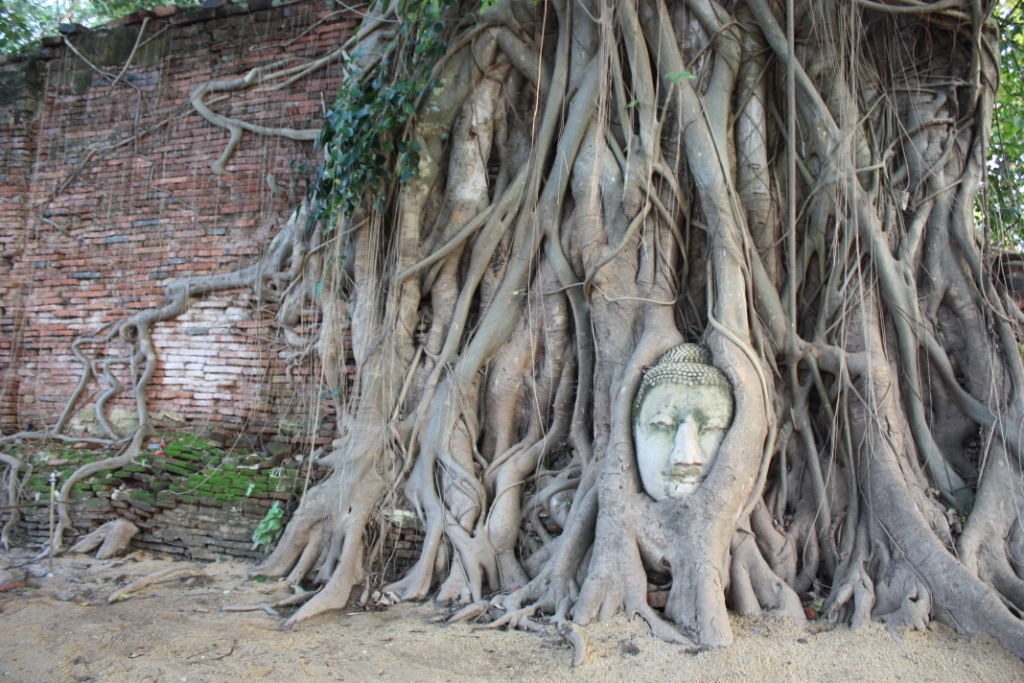 Strangler fig chokes the Buddha