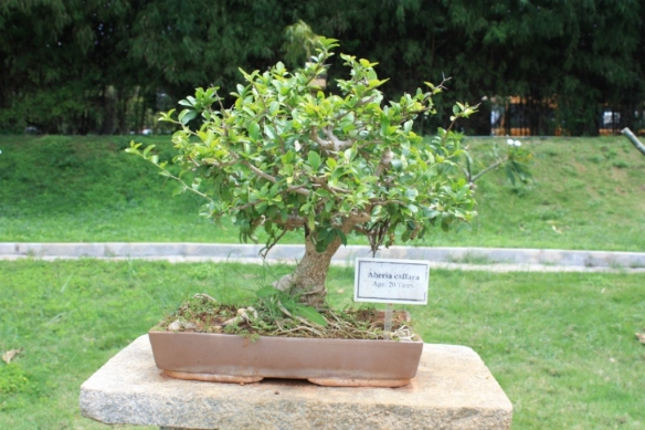 Lal Bagh Botanical Gardens displays a large collection of Bonsai.