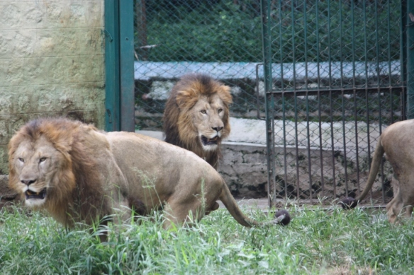 Taken in October of 2013 at Bannerghatta Zoo