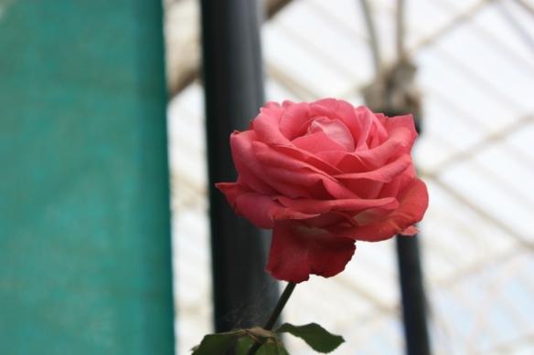 Bonus rose