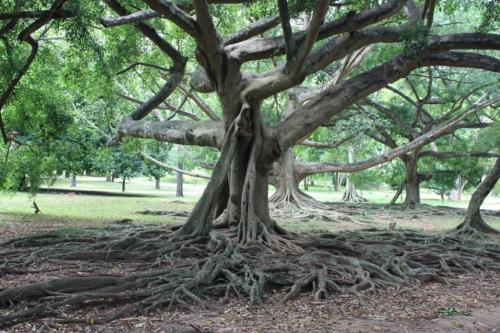 Taken on May 24, 2015 in Royal Botanical Gardens in Peradeniya, Sri Lanka