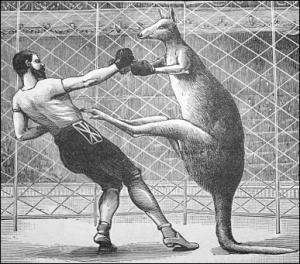 kangaroo_boxing