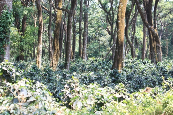 Coffee needs shade, and so it's grown under the canopy of other trees. Taken in March of 2014 at the Golden Mist Coffee Estate near Madikeri