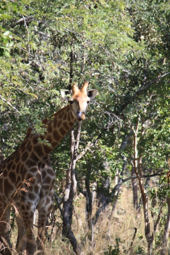 Taken in May of 2016 at Chaminuka Game Reserve