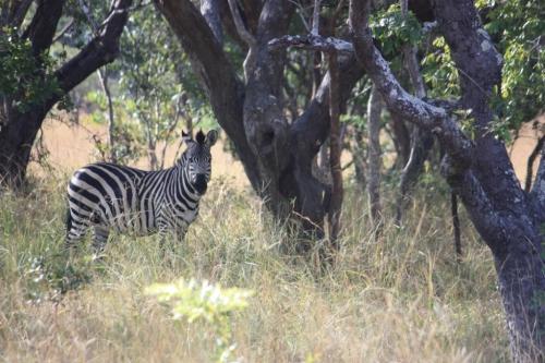 Zebra at the Chaminuka Game Reserve near Lusaka