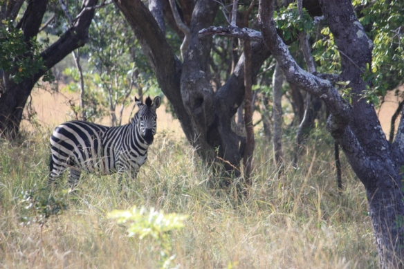 Zebra at the Chaminuka Game Reserve near Lusaka